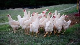 Non GMO/Organic Broiler Chickens